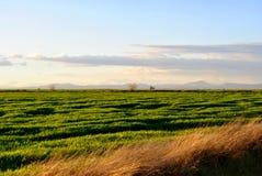 Grünes Weizenfeld bei Sonnenuntergang Lizenzfreies Stockfoto