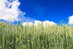 Grünes Weizenfeld. Blauer Himmel als backgro Stockbilder
