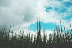 Grünes Weizenfeld an einem bewölkten Tag Lizenzfreie Stockfotos