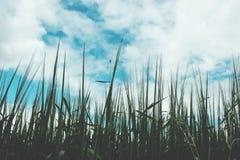 Grünes Weizenfeld an einem bewölkten Tag Stockbild