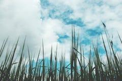 Grünes Weizenfeld an einem bewölkten Tag Stockfotografie