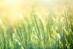 Grünes Weizenfeld - gute Ernte wird erwartet lizenzfreies stockfoto