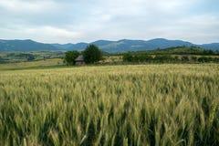 Grünes Weizenfeld lizenzfreies stockbild