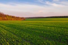 Grünes Weizenfeld im Vorfrühling und im Rand des Waldes an lizenzfreie stockfotografie