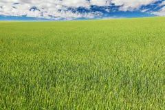 Grünes Weizenfeld mit blauem Himmel und Wolken Stockfotos