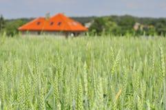 Grünes Weizenfeld mit einem Haus Stockbilder