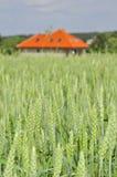 Grünes Weizenfeld mit einem Haus Lizenzfreies Stockbild