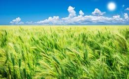 Grünes Weizenfeld mit Himmel Lizenzfreie Stockbilder