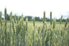 Grünes Weizenfeld mit Wald im Hintergrund an einem bewölkten Tag Stockfoto