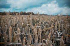 Grünes Weizenfeld mit Wald im Hintergrund an einem bewölkten Tag Lizenzfreie Stockfotografie