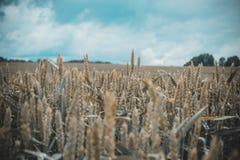 Grünes Weizenfeld mit Wald im Hintergrund an einem bewölkten Tag Stockfotografie