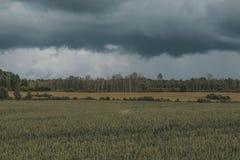 Grünes Weizenfeld mit Wald im Hintergrund an einem bewölkten Tag Stockbilder
