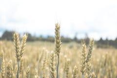 Grünes Weizenfeld mit Wald im Hintergrund an einem bewölkten Tag Lizenzfreies Stockbild