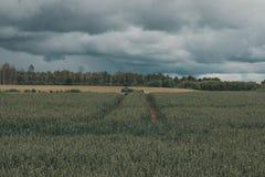 Grünes Weizenfeld mit Wald im Hintergrund an einem bewölkten Tag Lizenzfreie Stockbilder
