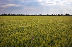 Grünes Weizenfeld und bewölkter Himmel Stockfotos