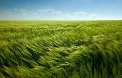 Grünes Weizenfeld und bewölkter Himmel Stockfoto