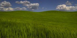 Grünes Weizenfeld und blauer Himmel Lizenzfreies Stockfoto