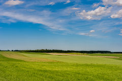 Grünes Weizenfeld und blauer Himmel mit Kühen und Stieren in Bakcground Lizenzfreies Stockbild