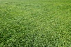 Grünes Weizenvon der luftfeld Großes grünes Feld der Vogelperspektive Stockbilder