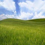 Grünes wellenförmiges Weizenfeld Lizenzfreie Stockfotos