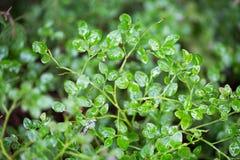 Grünes wenig machte Blätter der wilden Waldbeere nass Stockfotografie