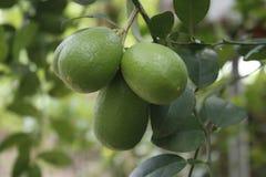 Grünes Zitrone ঠ² ৠ‡ বৠ schön Lizenzfreies Stockfoto