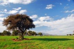 Grünfelder, blauer Himmel, einsamer Baum Stockfoto