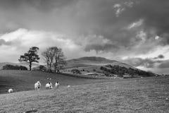 Grünfelder in der englischen Landschaft mit dem Weiden lassen von Schafen Engl. Lizenzfreie Stockfotos