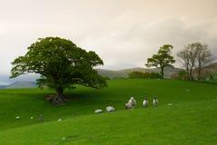 Grünfelder in der englischen Landschaft mit dem Weiden lassen von Schafen Engl. Stockfotografie