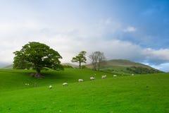 Grünfelder in der englischen Landschaft mit dem Weiden lassen von Schafen Engl. Stockbilder
