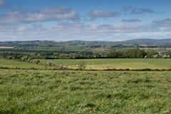 Grünfelder mit Kühen im Abstand Stockfotos