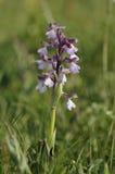 Grünflügelige Orchidee Lizenzfreies Stockfoto