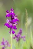 Grünflügelige Orchidee Stockfotografie