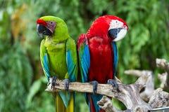 Grünflügelige und große grüne Macaws in der Natur Lizenzfreie Stockfotos