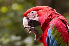 Grünflügeliger Macaw lizenzfreies stockfoto