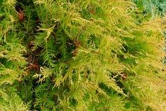 Grünhintergrund Cupressocyparis Leylandii lizenzfreie stockfotografie