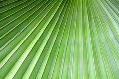 Grünhintergrundabschluß herauf Palmblatt Stockfoto