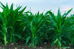 Grünkern auf Bauernhof und erfrischend natürliches mit Licht Lizenzfreies Stockfoto