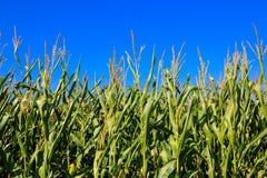 Grünkernfeld über blauem Himmel Stockfotografie