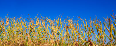 Grünkernfeld über blauem Himmel Lizenzfreies Stockbild