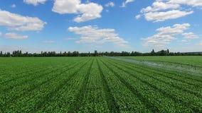 Grünkernfeld mit Bewässerungssystem, blauer Himmel mit weißen Wolken, Luftvideo In den trockenen und halbariden Bereichen stock video