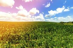Grünkernfeld unter blauem Himmel Stockfotografie