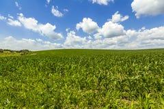 Grünkernfeld unter blauem Himmel Stockfotos