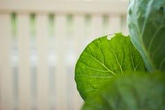 Grünkohl-Blatt mit weißem Zaun im Hintergrund Stockbild