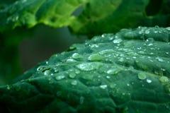 Grünkohl treibt mit Wassertröpfchen auf es Blätter Stockfotografie