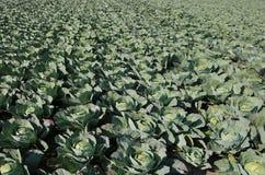 Grünkohle auf einem sehr fruchtbaren Gebiet lizenzfreie stockfotografie