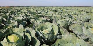 Grünkohle in Nordeuropa im Sommer lizenzfreie stockfotos