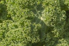 Grünkohlhintergrund Stockbild