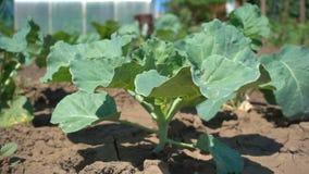 Grünkohlsämling auf dem Hintergrund des trockenen Bodens, Zeitlupe Bearbeitung des organischen Gemüses auf dem Bauernhof stock video footage