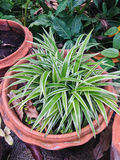 Grünlilie mit grünem u. weißem schlankem Blatt Stockfoto